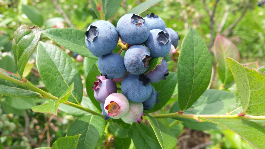 Stateline blueberries farm 2 for Laporte indiana phone directory